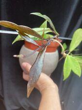 Hoya Pubicalyx Royal Hawaiian Purple in 6 inch pots - well established