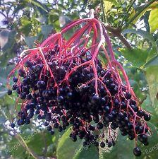 Sambucus nigra 25 Seeds Elderberry Black Elder Mediterranean plant Bush Healthy
