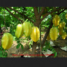 50 PCS Seeds Star Bonsai Fruit Tree Shrub AVERRHOA Carambola Starfruit Edible G