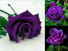 10 Purple Rose Seeds. Unique Flower Garden Gift Popular Rare Beautiful Exotic
