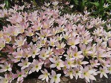 Rain Lily, Zephyranthes Grandjax , 4 bulbs, RARE, habranthus