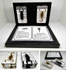 More details for real insects large scorpions in crystal resin in display gift box & information