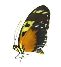 Unmounted Butterfly/Nymphalidae - Heliconius hecale melicerta, FEMALE, Colombia