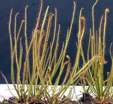 Drosera filiformis sundew carnivorous plant seeds (50 seeds)
