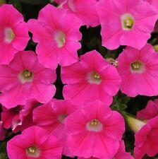 ~  Shock Wave ROSE  *  Trailing Petunia *  20 Pelleted Seeds