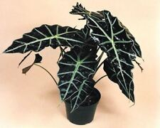 Alocasia Polly Exotic House Plant in a 12cm Pot.  Approx 35cm tal