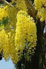 GOLDEN RAIN TREE SEEDS KOELREUTERIA PANICULATA FLOWERING TREE GARDEN 40 SEEDS