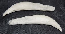 """1 Imitation Bear Teeth. Resin. Tooth. over 6"""" Long KODIAK Grizzly Claws Fangs"""