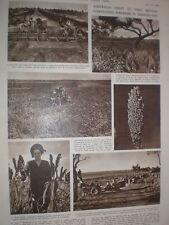 Photo article harvesting Sorghum in Queensland Australia 1949