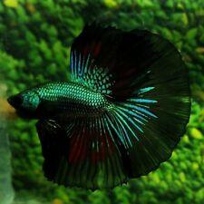 Live Betta Fish Super Green Black Red Samurai HM Male from Indonesia Breeder