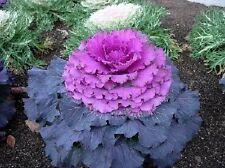 30+ Purple Prince Flowering Kale / Annual Flower Seeds