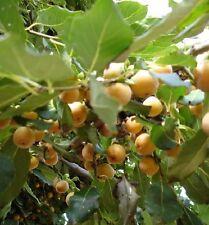 Lotuspflaume Pflanzen Topfpflanzen Kübelpflanze Exoten für den Wintergarten Deko