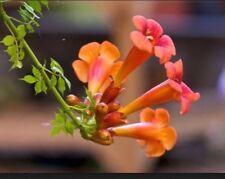 Trumpet Vine Seeds! Beautiful! Hummingbird Attractant! 25+ Seeds!