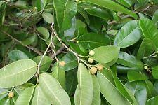 *10 Seeds Brosimum Alicastrum*Breadnut*Cow Tree*Ujuste*Oju 00000Cdf Ste*free shipping*