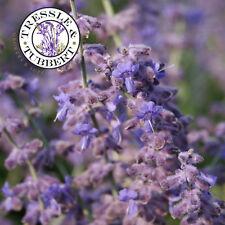 Raro perovskia atriplicifolia, Salvia rusa - 20 Semillas de vendedor de Reino Unido