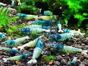 5 X Lovely CARIDINA BLUE BOLT fresh water aquarium ornamental shrimp SIZE 15 MM