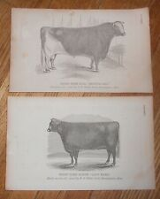 Lot of 2 Antique 1865 Prints of Shothorn Cattle Cow & Bull Printed in 1865