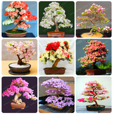 Sakura Bonsai Flowers Cherry Tree Bonsai Plants Home Garden Bonsai 10 Pcs Seeds