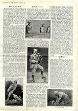 Modern Falconry Moderne Falknerei Bilder und Text von 1894