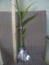 Alpinia Galanga, Thai Ginger, Galangal, Perennial Herb / Food Forest,