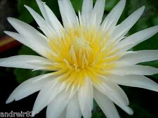Water lily Seeds white Water plant Ukraine Nymphaea ampla 5 seeds S0851