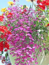 200 ROSAMOND LOBELIA Erinus Carmine Red & White Flower Seeds *Comb S/H
