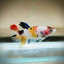 "Live Betta Fish - Female Halfmoon -""Koi Candy Fancy"" Betta High Quality (SBMA14)"