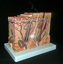 Anatomical Human Skin Block Model - Medical Dermatology/Dermatological Anatomy