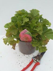Geum 'Pink Petticoats' - good sized plant 2L pot