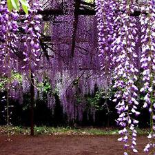 10XBulk Japanischer Floribunda Wisteria Tree Vine Seed Violet Garden Plants