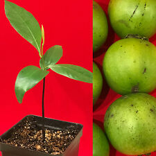 Black Sapote Diospyros Nigra Chocolate Pudding Seedling Plant Tropic Fruit Tree