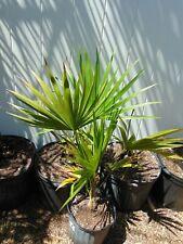 "Florida Thatch Palm/Thrinax radiata 30"" tall 2 gallon pot Species"
