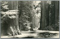 RPPC Postcard CA California Redwoods on 199 Highway Tall Trees Forest Grove