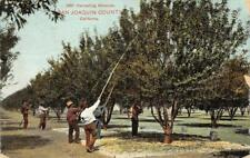 SAN JOAQUIN COUNTY Harvesting Almonds California Farming 1917 Vintage Postcard