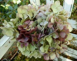 12 Dried Hydrangea Flowers Lt. Green, Cream + Purple Burgundy  Wedding Farmhouse
