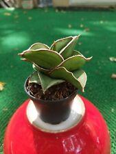 "Young Sansevieria Samuri ~Succulent Snake Plant 2""Pot Hardy s7"
