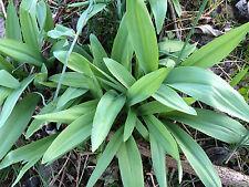 10 mature size ramps(Allium tricoccum) or Wild leeks