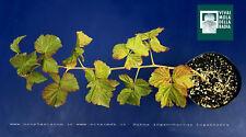 RUBUS LOGANOBACCUS hyb 'LOGANBERRY' V14 pianta plant Lampone