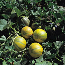 Vegetable - Melon - Ogen - 10 Seeds