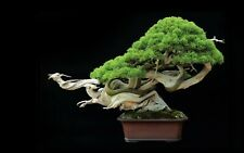 20Pcs Japanese Juniper Tree Seeds Bonsai Air Purifying Terrific Potted Plants