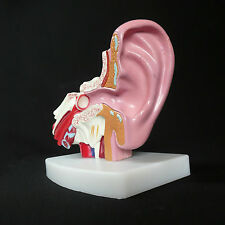 Anatomical Human Desktop Ear Model - 1.5x Enlarged - Medical Skeleton Anatomy
