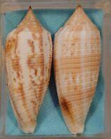 Conus Australis 2 Shells 79+81mm Dredged off Tiachung,Taiwan 20 fathoms