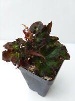 Begonia 'Ken's Kandy' / terrarium, Vivarium, eyelash begonia