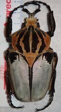 Goliathus cacicus ab. conjunctus 81.2mm African Goliath Beetle Insect