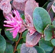 RAZZLEBERRI LOROPETALUM pink flowers, plum-coloured leaves plant in 140mm pot