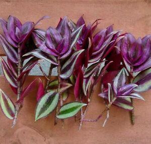 8 Wandering Jew Tradescantia Zebrina Plant Cuttings (+ free gift)