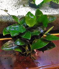Anubias nana im Topf, Zwergspeerblatt, Wasserpflanze, barschfeste Aquariumpflanz