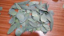 Eucalyptus Leaves (perriniana eucalyptus) 50g+Organic & Fresh to be Hand Picked