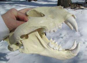 Tigon lion tiger hybrid skull cast taxidermy liger replica