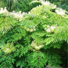 25 Gr Angélique en arbre du Japon 'Aralia elata' Japanese angelica-tree seeds
